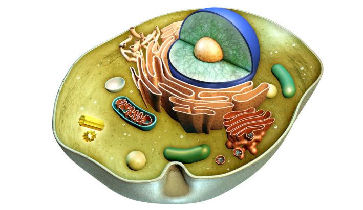 mitochondrialna